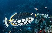 Baliste clown (Balistoides conspicillum) sur le récif, Komodo, Indonésie