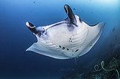 Reef Manta Ray (Manta alfredi) Komodo National Park, Indonesia