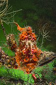 Commerson's frogfish (Antennarius commerson), south Komodo, Indonesia