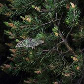 Spanish moon moth (Graellsia isabellae) on Pine at night, The Ports Natural Park, Terres de L'Ebre, Tarragona, Catalonia, Spain, Europe