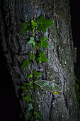 Spanish moon moth (Graellsia isabellae) on trunk at night, The Ports Natural Park, Terres de L'Ebre, Tarragona, Catalonia, Spain, Europe