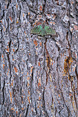 Spanish moon moth (Graellsia isabellae) on bark, The Ports Natural Park, Terres de L'Ebre, Tarragona, Catalonia, Spain, Europe