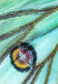 Spanish moon moth (Graellsia isabella, detail of eyespot, sometimes ocellus, Els Ports, Ebre lands, Spain