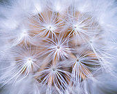 Common dandelion (Taraxacum officinale) akene, Leon province, Castilla y Leon, Spain, Europe