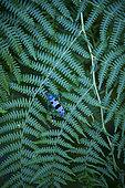 Rosalia longicorn (Rosalia alpina) on Fern, Redes Natural Park, Caso Council, Asturias, Spain