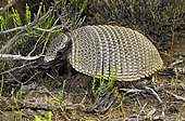 Big hairy armadillo or Large hairy armadillo (Chaetophractus villosus). Península Valdés, Argentine Patagonia.