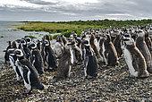 Magellanic penguin (Spheniscus magellanicus). Reserva Provincial Ría Deseado. Puerto Deseado, Argentina.