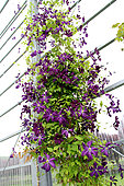 Climbing Clematis 'Vyvyan Pennell' under glasshouse indoors