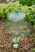 Glass protection bell in the garden to protect vegetables from cold and pests