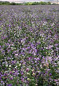 Champ de Luzerne cultivée (Medicago sativa) en fleurs, engrais vert, France