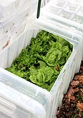 Winter salad protection in box, France