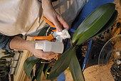 Désinfecter les lames d'un sécateur avant la taille de tige d'orchidée et son rempotage, protection, soin