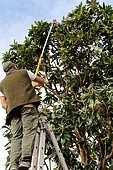 Pruning of a fruit tree (loquat) with an averruncator whose branches touch electrical wires. Security and maintenance work. Tarn, France
