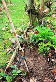Layering of a vine branch in the ground: Step 2 with the installation of a guardian, Tarn, France