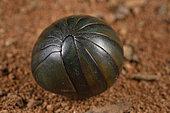 Green Giant Pill-Millipede (Zoosphaerium neptunus) ball, Andasibe, Perinet, Alaotra-Mangoro Region, Madagascar