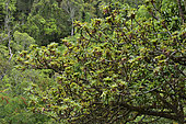 Figuier à fruits jaunes (Ficus lutea), Andasibe, Perinet, Région Alaotra-Mangoro, Madagascar