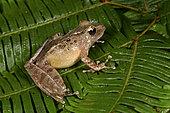 Sculpted Madagascar Frog (Gephyromantis sculpturatus) pregnant female, Andasibe, Perinet, Alaotra-Mangoro Region, Madagascar