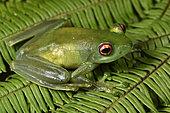 Ankafana Bright-eyed Frog (Boophis luteus) pregnant female, vision of eggs on the side, Andasibe, Perinet, Alaotra-Mangoro Region, Madagascar