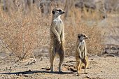 Meerkats (Suricata suricatta), adult and young observing the surroundings, Kgalagadi Transfrontier National Park, Northern Cape, South Africa, Africa
