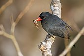 Black-fronted Nunbird (Monasa nigrifrons), Reserva natural Palmari, Brazil