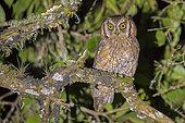 Tropical Screech-Owl (Megascops choliba), Cali, Valle del Cauca, Colombia