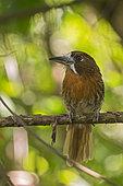 Moustached Puffbird (Malacoptila mystacalis), Bolombolo, Antioquia, Colombia