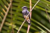 Swallow-winged Puffbird (Chelidoptera tenebrosa) in Sooretama/Linhares, Espírito Santo - Southeast of Brazil. Atlantic Forest Biome.