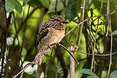 Crescent-chested Puffbird (Malacoptila striata), Domingos Martins, Espírito Santo - Brazil. Atlantic forest Biome.