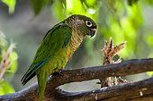 Maroon-bellied Parakeet (Pyrrhura frontalis), inhabits forest areas, usually in packs. Occurs from Bahia to Rio Grande do Sul, in addition to the Atlantic Forest of Goias and southern Mato Grosso do Sul, Uruguay, Paraguay and Argentina.