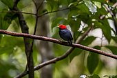 Red-headed Manakin (Ceratopipra rubrocapilla), present in two separate regions throughout the Amazon south of the Amazon and Atlantic Forest of Pernambuco to Rio de Janeiro.