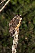 Tawny-browed Owl (Pulsatrix koeniswaldiana), on a branch Sooretama, Espírito Santo - Brazil.