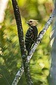 Blond-crested Woodpecker (Celeus flavescens), photographed in Viana, Espírito Santo, Brazil.