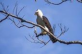 Black-and-white Hawk-Eagle (Spizastur melanoleucus), on a branch in Viana, Espírito Santo, Brazil.