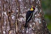 Yellow-fronted Woodpecker (Melanerpes flavifrons), in Sooretama/Linhares Linhares, Espirito Santo - Brazil. Atlantic Forest Biome.