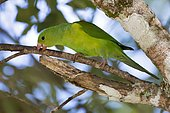 Plain Parakeet (Brotogeris tirica) perched on a branch, in Sooretana, Espírito Santo, Brazil.