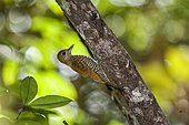 "Red-stained Woodpecker (Veniliornis affinis), Sooretama, Espírito Santo - Southeast of Brazil. Atlantic Forest Biome."""