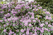 Rhododendron 'Blue Ensign' in bloom in a garden