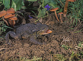 Common toad or European toad, Bufo bufo. Begining to stretch the tongue to catch a spider. Portugal