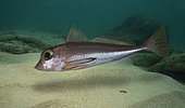 Spiny gurnard, Lepidotrigla dieuzeidei. Composite image. Portugal.. Composite image
