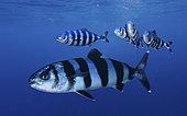 Pilot fish, Naucrates ductor.Composite image. Azores, Portugal