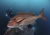 Bluespotted seabream, Pagrus coerulestictus. Adult animal. Composite image. Portugal. Composite image