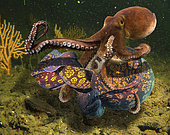 Dramatic fight between an octopus and a moray eel. The moray makes a knot on itself that runs over the body and frees it from the tantacles of the octopus. Portugal