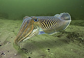 Common cuttlefish, Sepia officinalis. Breeding colours. Portugal