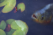 Red-bellied piranha, Pygocentrus nattereri. Waiting for a prey near the surface in the middle of aquatic plants. Brazil