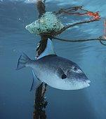 Baliste océanique (Canthidermis sufflamen) près d'une bouée de pêche avec des câbles perdus au large de l'île de Madère. Les adultes et les juvéniles sont le plus souvent associés à des objets dérivants, y compris les mauvaises herbes Sargassum. Madère, Portugal