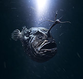 """Atlantic footballfish, Himantolophus groenlandicus. Female with modified ray on the head making a """"fishing-rod"""", tipped with a lure on a central luminous bulb. It uses this to attract smaller fish in the dark abyss. Portugal"""
