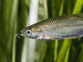 Ver ancre (Lernaea sp), Parasite de poissons d'eau douce. C'est un copépode qui s'accouple au cours de la phase de développement de nage libre et ensuite, la femelle s'ancre profondément dans la chair d'un poisson et se transforme en une forme segmentée ressemblant à un ver accrochée au corps du poisson, ici sur la bouche.Portugal