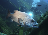 Atlantic wreckfish, Polyprion americanus. On ship wreck with two divers. Are deep-water fish found close to the ocean bottom at depths between 40 and 600 m, where they inhabit caves and shipwrecks. They are largely solitary fish, but juveniles will school below floating objects. Mediterranean Sea