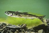 Calige (Caligus sp) sur un jeune Saumon, Canada