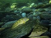 Blennie fluviatile (Salaria fluviatilis) en rivière. Image composite. Image composite
